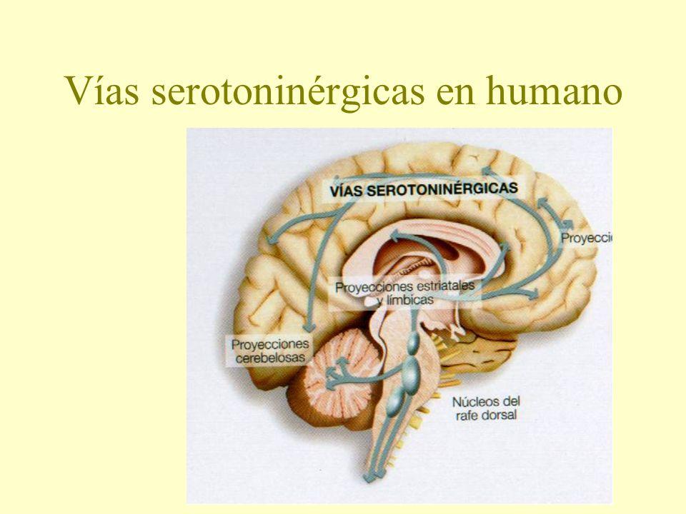 Vías serotoninérgicas en humano