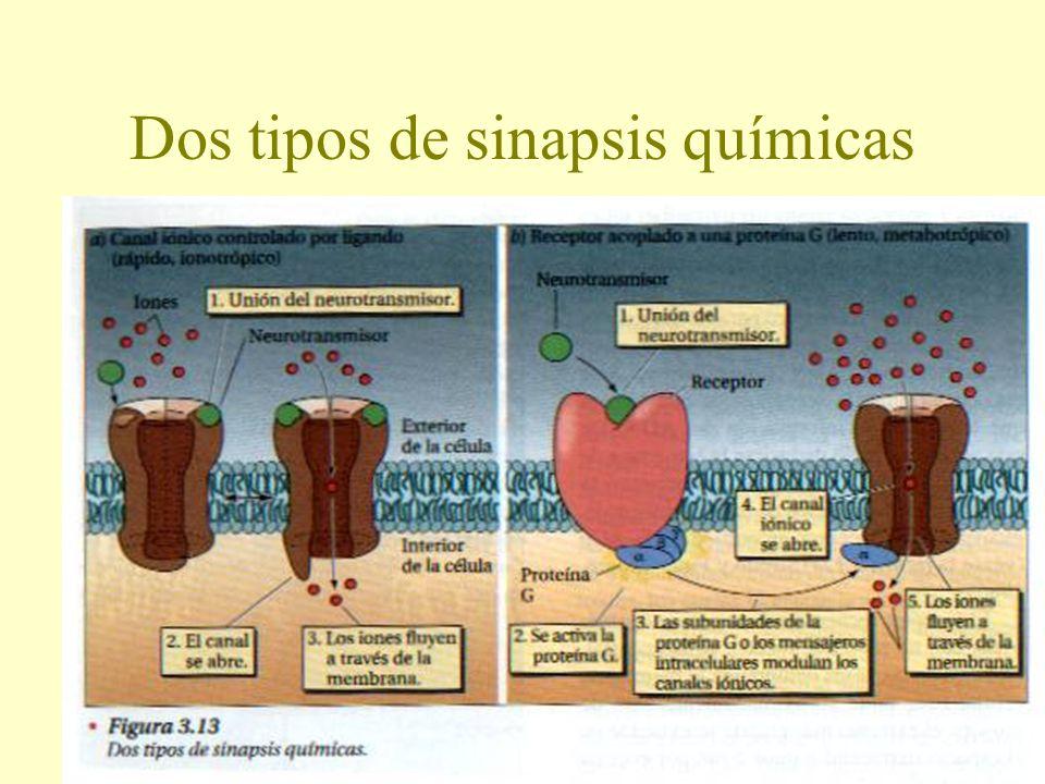 Dos tipos de sinapsis químicas