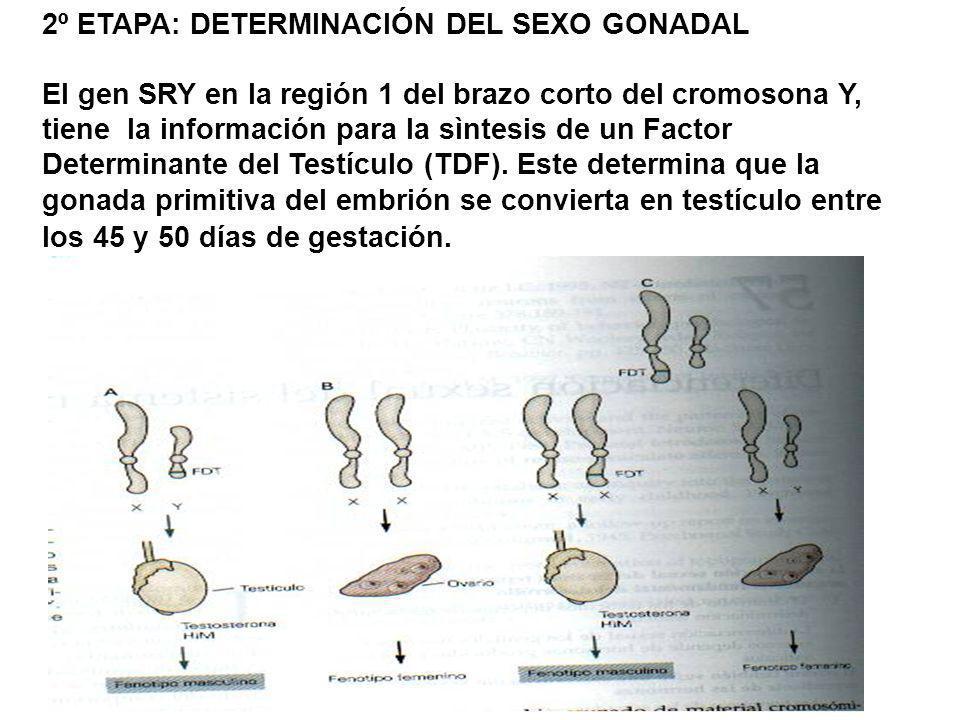 2º ETAPA: DETERMINACIÓN DEL SEXO GONADAL El gen SRY en la región 1 del brazo corto del cromosona Y, tiene la información para la sìntesis de un Factor