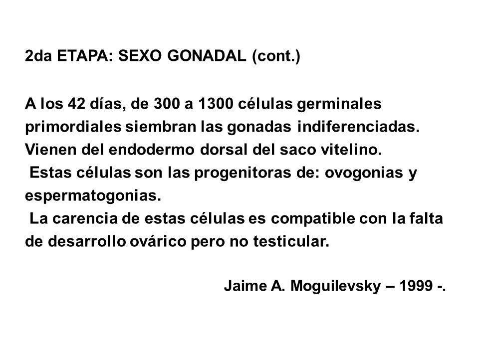 2da ETAPA: SEXO GONADAL (cont.) A los 42 días, de 300 a 1300 células germinales primordiales siembran las gonadas indiferenciadas. Vienen del endoderm