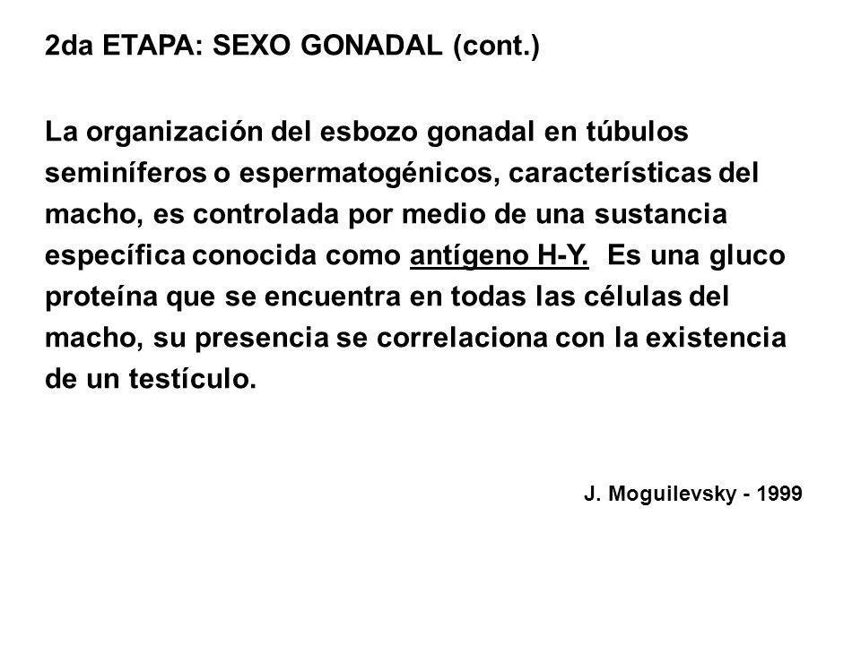 2da ETAPA: SEXO GONADAL (cont.) La organización del esbozo gonadal en túbulos seminíferos o espermatogénicos, características del macho, es controlada