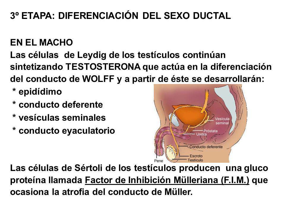 3º ETAPA: DIFERENCIACIÓN DEL SEXO DUCTAL EN EL MACHO Las células de Leydig de los testículos continúan sintetizando TESTOSTERONA que actúa en la difer
