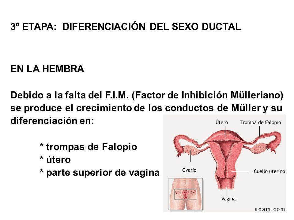 3º ETAPA: DIFERENCIACIÓN DEL SEXO DUCTAL EN LA HEMBRA Debido a la falta del F.I.M. (Factor de Inhibición Mülleriano) se produce el crecimiento de los