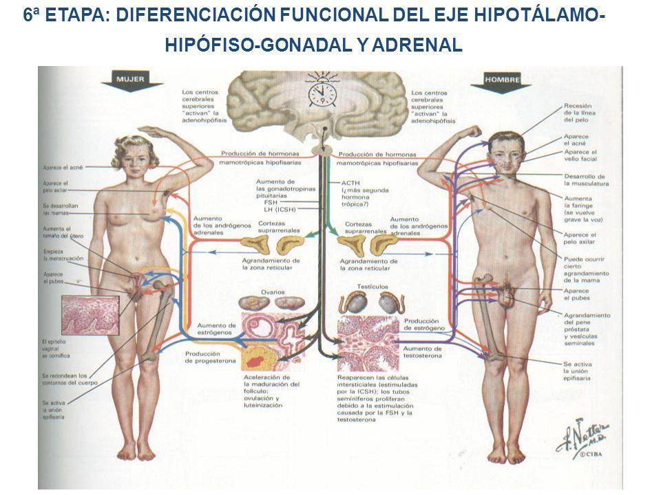6ª ETAPA: DIFERENCIACIÓN FUNCIONAL DEL EJE HIPOTÁLAMO- HIPÓFISO-GONADAL Y ADRENAL