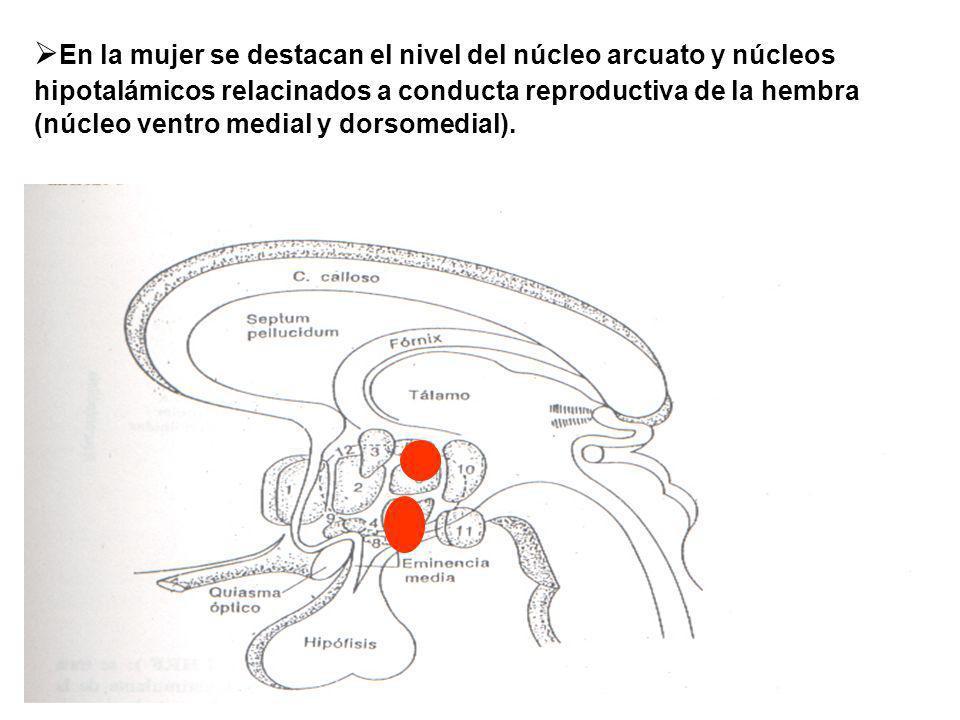 En la mujer se destacan el nivel del núcleo arcuato y núcleos hipotalámicos relacinados a conducta reproductiva de la hembra (núcleo ventro medial y d