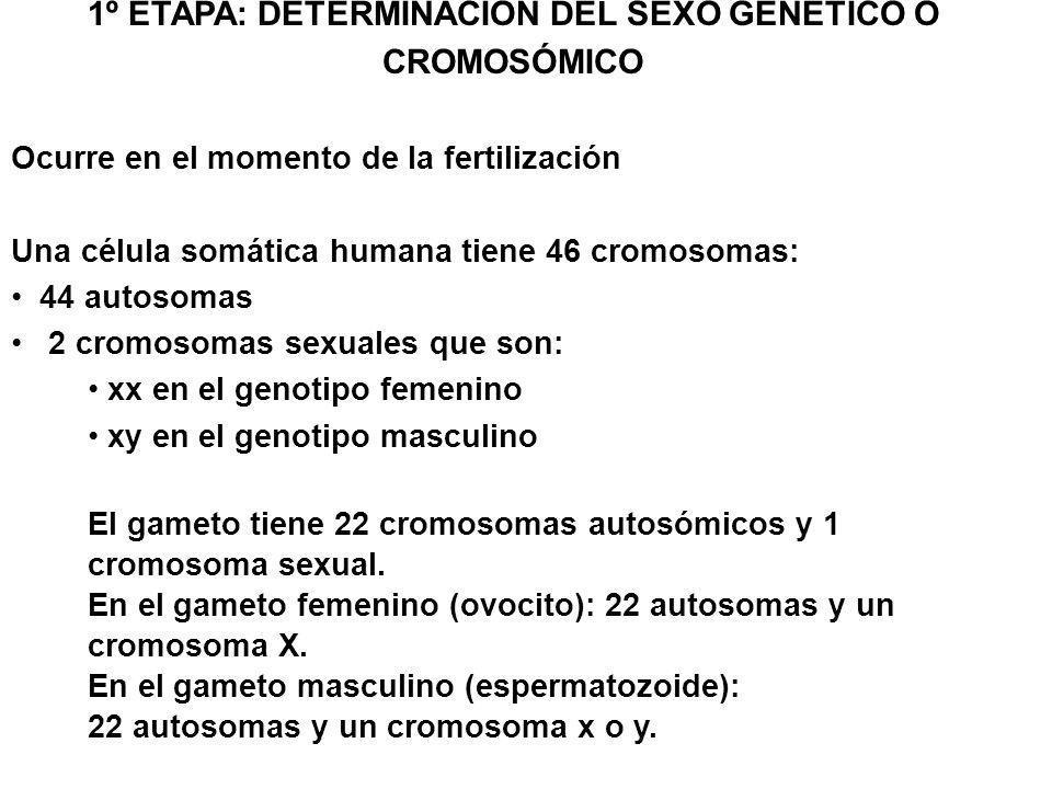 1º ETAPA: DETERMINACIÓN DEL SEXO GENÉTICO O CROMOSÓMICO Ocurre en el momento de la fertilización Una célula somática humana tiene 46 cromosomas: 44 au
