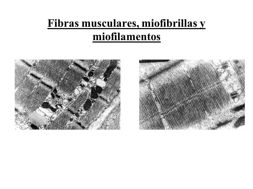 Fibras musculares, miofibrillas y miofilamentos
