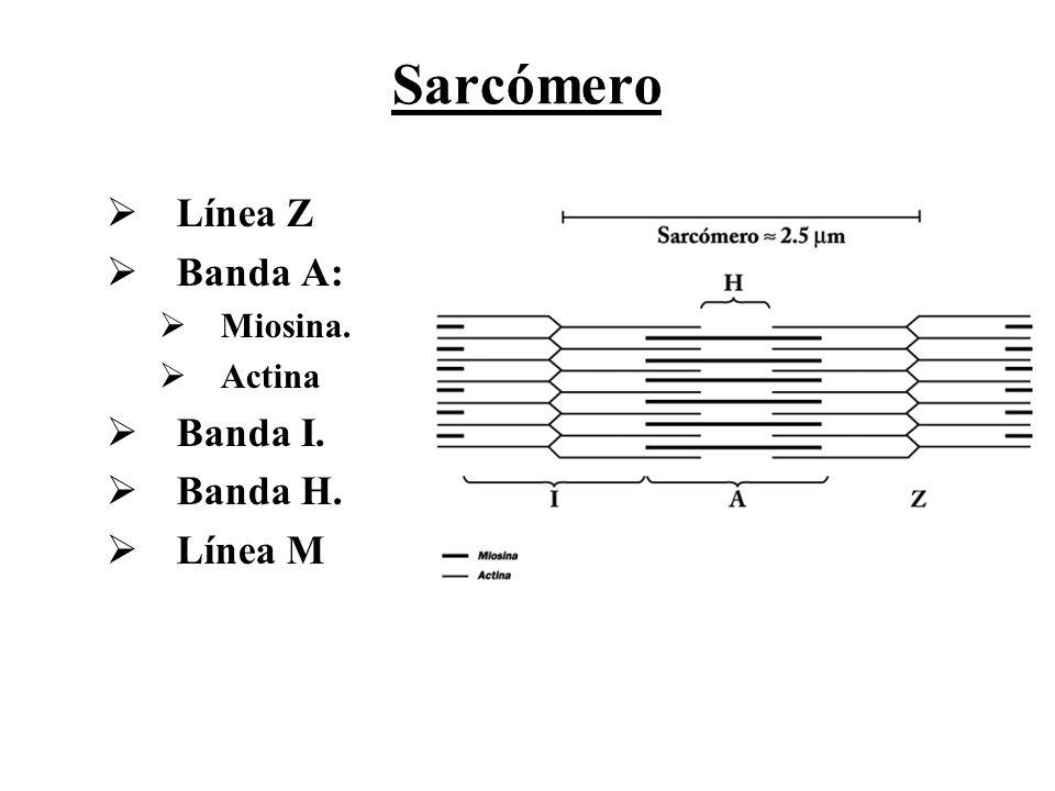 Sarcómero Línea Z Banda A: Miosina. Actina Banda I. Banda H. Línea M