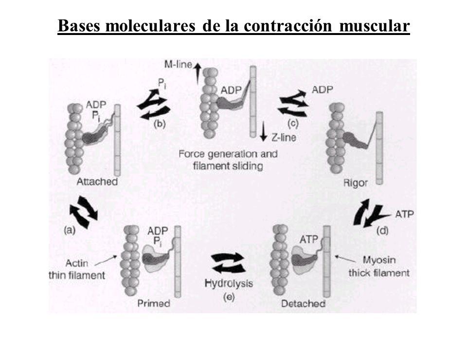 Bases moleculares de la contracción muscular