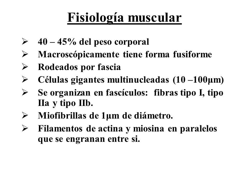 Fisiología muscular 40 – 45% del peso corporal Macroscópicamente tiene forma fusiforme Rodeados por fascia Células gigantes multinucleadas (10 –100μm)