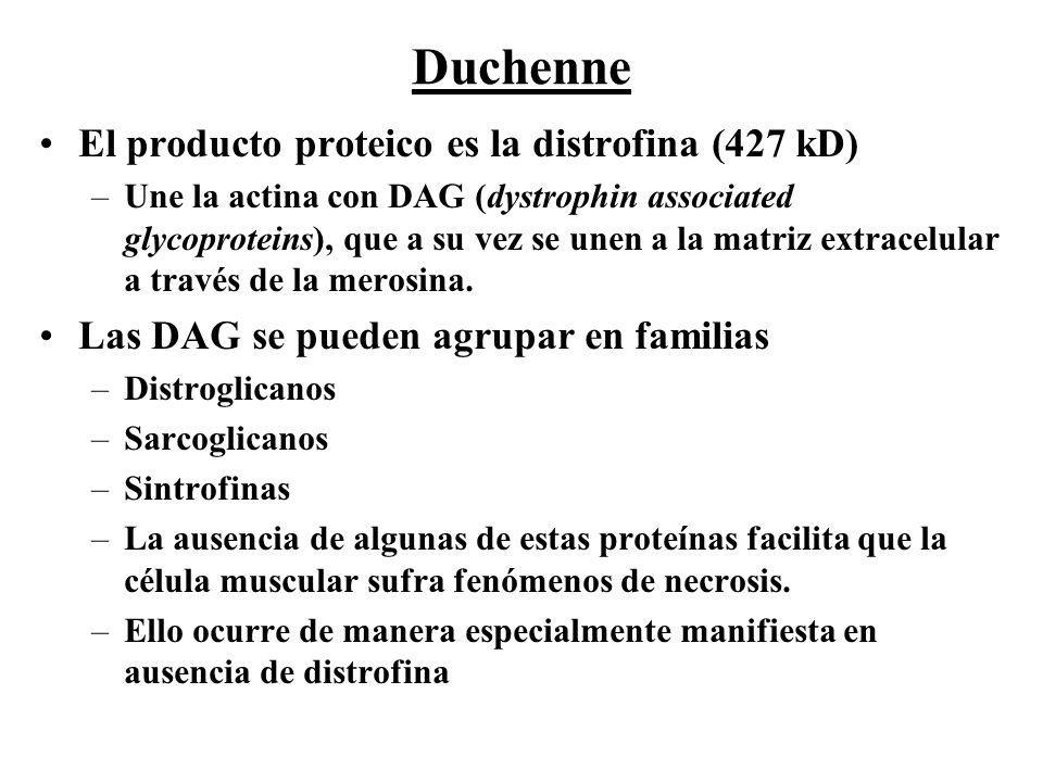 El producto proteico es la distrofina (427 kD) –Une la actina con DAG (dystrophin associated glycoproteins), que a su vez se unen a la matriz extracel