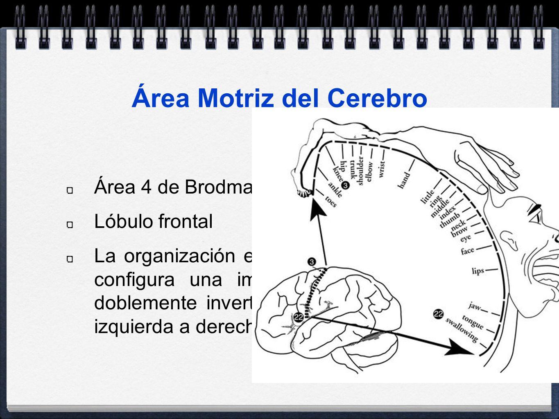 Área Motriz del Cerebro Área 4 de Brodmann Lóbulo frontal La organización espacial de la corteza motriz configura una imagen deforme del cuerpo doblem