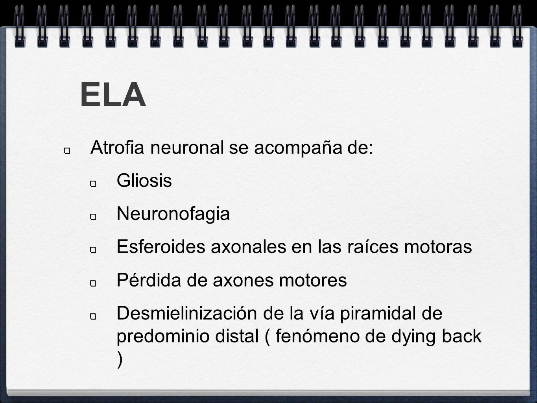 ELA Atrofia neuronal se acompaña de: Gliosis Neuronofagia Esferoides axonales en las raíces motoras Pérdida de axones motores Desmielinización de la v