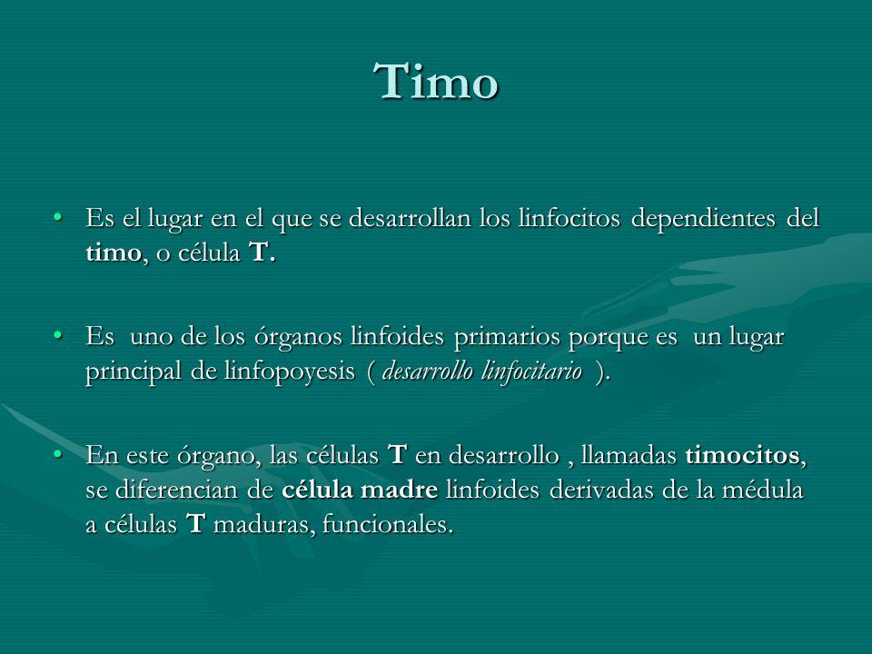 Timo Es el lugar en el que se desarrollan los linfocitos dependientes del timo, o célula T.Es el lugar en el que se desarrollan los linfocitos dependi