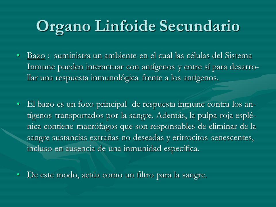 Organo Linfoide Secundario Bazo : suministra un ambiente en el cual las células del Sistema Inmune pueden interactuar con antígenos y entre sí para de