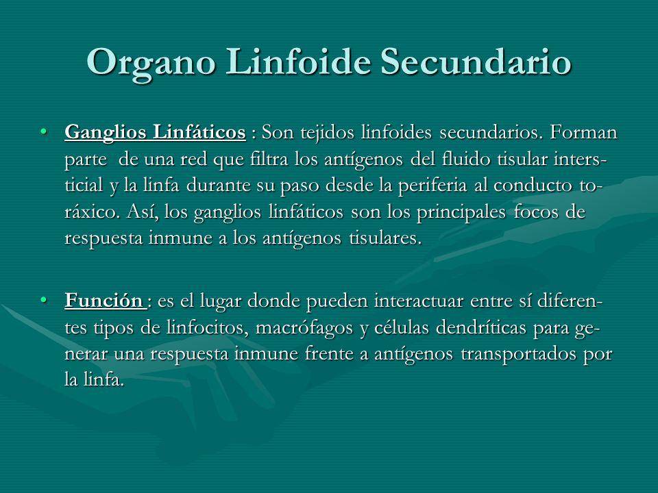 Organo Linfoide Secundario Ganglios Linfáticos : Son tejidos linfoides secundarios. Forman parte de una red que filtra los antígenos del fluido tisula