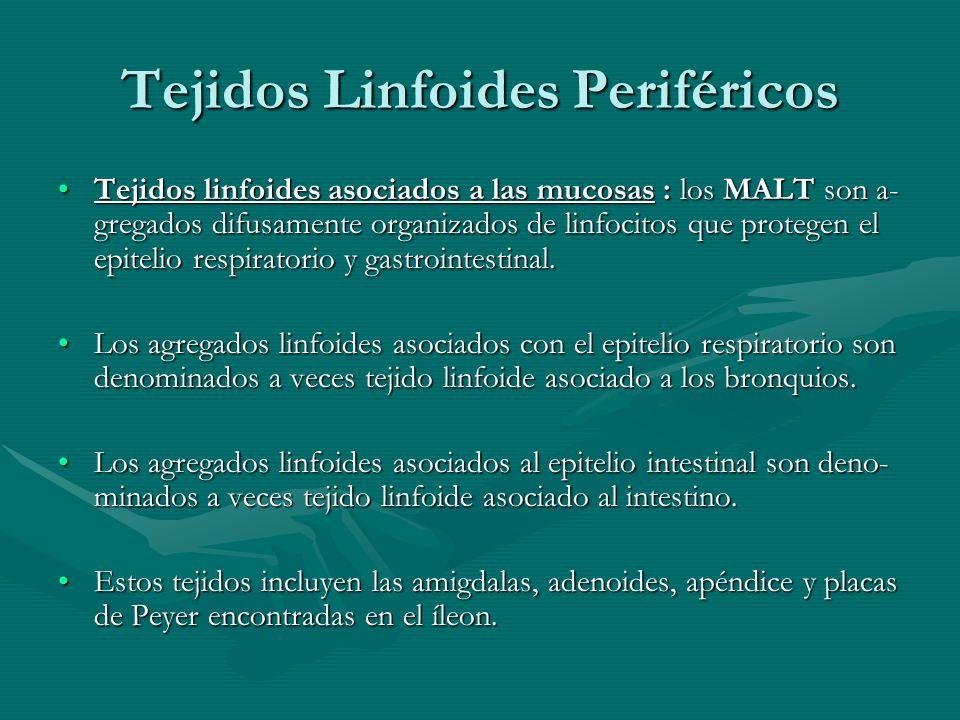 Tejidos Linfoides Periféricos Tejidos linfoides asociados a las mucosas : los MALT son a- gregados difusamente organizados de linfocitos que protegen