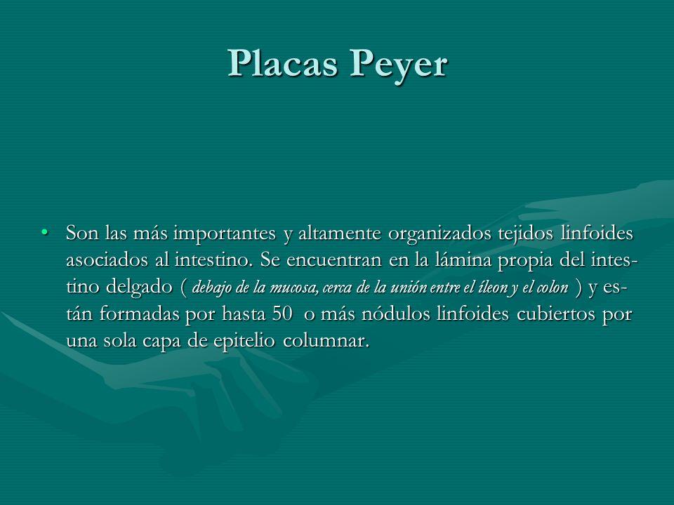 Placas Peyer Son las más importantes y altamente organizados tejidos linfoides asociados al intestino. Se encuentran en la lámina propia del intes- ti