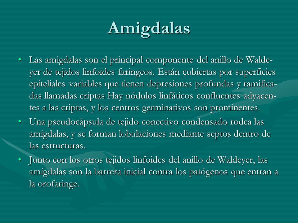 Amigdalas Las amigdalas son el principal componente del anillo de Walde- yer de tejidos linfoides faringeos. Están cubiertas por superficies epitelial