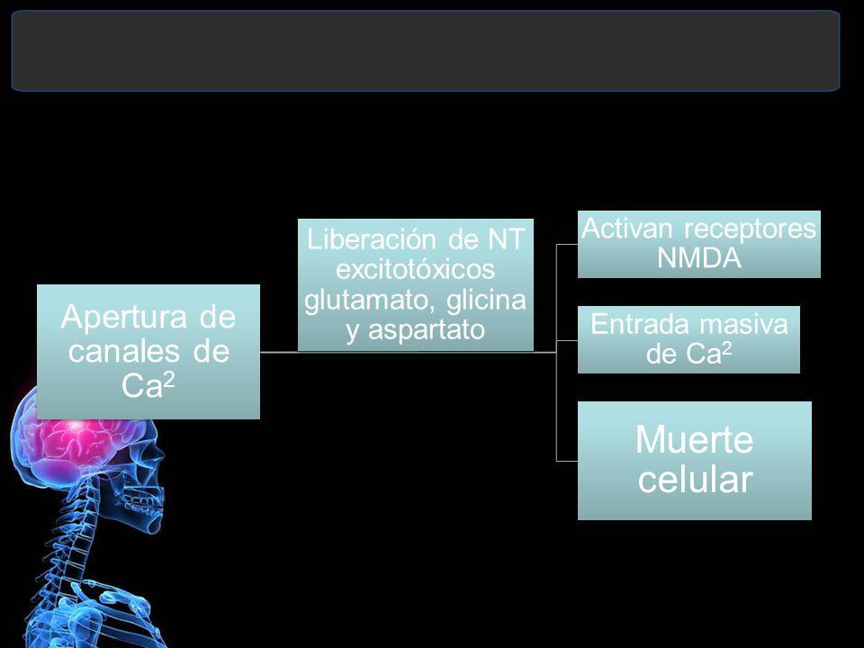 Apertura de canales de Ca 2 Activan receptores NMDA Entrada masiva de Ca 2 Muerte celular Liberación de NT excitotóxicos glutamato, glicina y aspartat