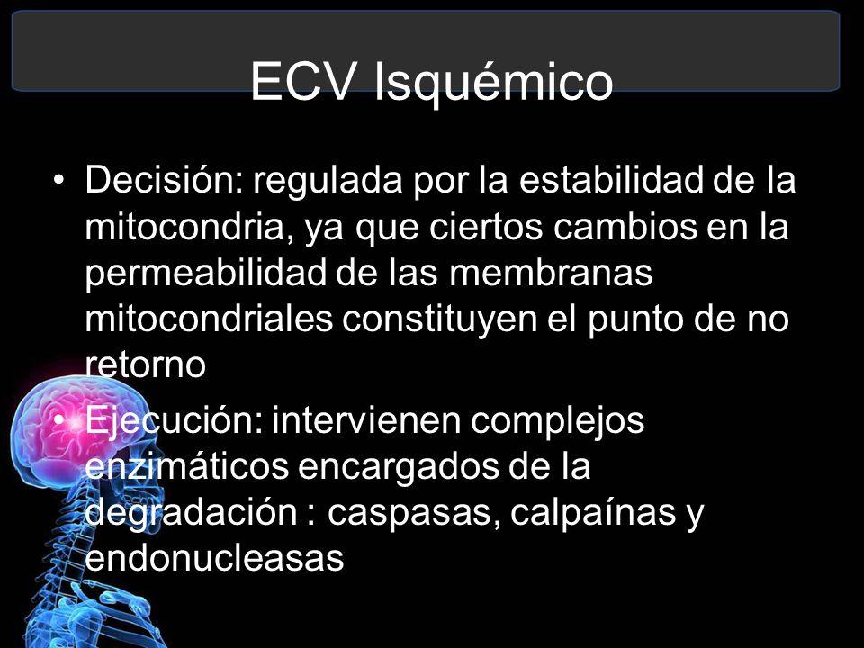 ECV Isquémico Decisión: regulada por la estabilidad de la mitocondria, ya que ciertos cambios en la permeabilidad de las membranas mitocondriales cons