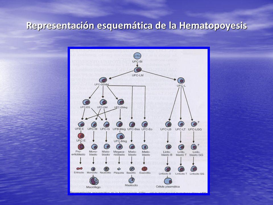 Representación esquemática de la Hematopoyesis