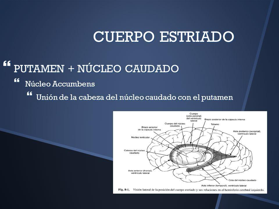CUERPO ESTRIADO PUTAMEN + NÚCLEO CAUDADO PUTAMEN + NÚCLEO CAUDADO Núcleo Accumbens Núcleo Accumbens Unión de la cabeza del núcleo caudado con el putam