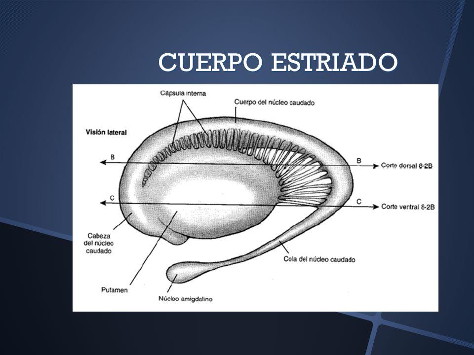 INTERCONEXIONES EFERENCIAS EFERENCIAS A través del Pálido hacia el Tálamo A través del Pálido hacia el Tálamo Fibras pálidotalámicas Fibras pálidotalámicas Asa lenticular Asa lenticular Fascículo lenticular Fascículo lenticular Ambas se unen en el FASCÍCULO TALÁMICO Ambas se unen en el FASCÍCULO TALÁMICO Terminan en Núcleo Ventral Anterior del Tálamo Terminan en Núcleo Ventral Anterior del Tálamo Efecto final a través de tractos tálamocorticales Efecto final a través de tractos tálamocorticales Terminan en Área Premotora Terminan en Área Premotora Fibras nigrotalámicas (también en Núcleo VA) Fibras nigrotalámicas (también en Núcleo VA)