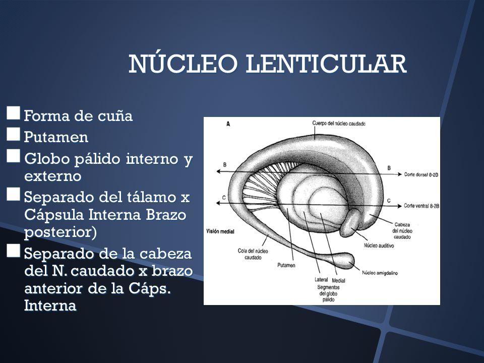 NÚCLEO LENTICULAR Forma de cuña Forma de cuña Putamen Putamen Globo pálido interno y externo Globo pálido interno y externo Separado del tálamo x Cáps