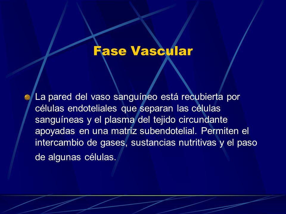 Fase Vascular La pared del vaso sanguíneo está recubierta por células endoteliales que separan las células sanguíneas y el plasma del tejido circundan