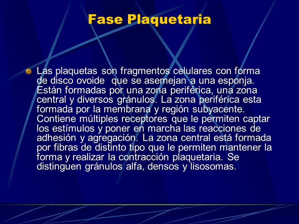 Fase Plaquetaria Las plaquetas son fragmentos celulares con forma de disco ovoide que se asemejan a una esponja. Están formadas por una zona periféric