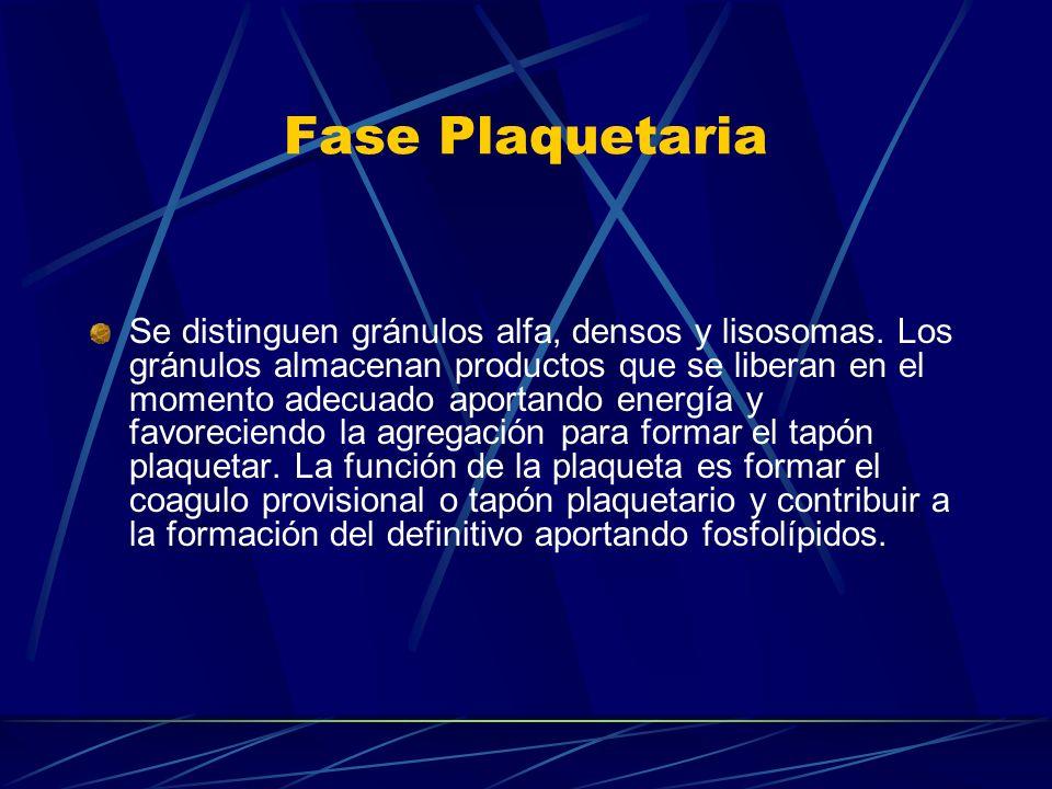 Fase Plaquetaria Se distinguen gránulos alfa, densos y lisosomas. Los gránulos almacenan productos que se liberan en el momento adecuado aportando ene