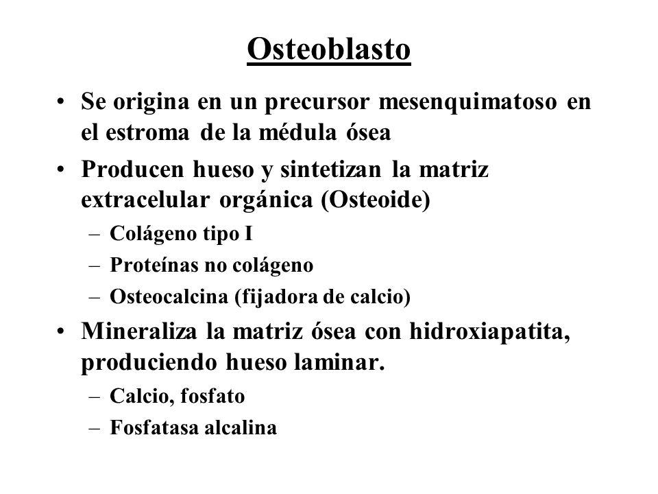 Osteoblasto Se origina en un precursor mesenquimatoso en el estroma de la médula ósea Producen hueso y sintetizan la matriz extracelular orgánica (Ost