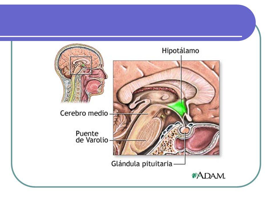 HIPOTALAMO Peso: 4 g.Enfermedad ocurre sólo cuando el compromiso es bilateral..