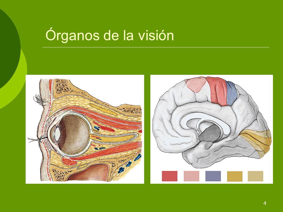 5 Los órganos de la visión El globo ocular Los anejos: Músculos oculares Nervios oculares Glándulas lacrimales Párpados Vías ópticas Zona occipital de la corteza cerebral