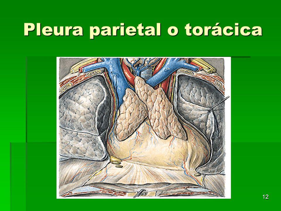 12 Pleura parietal o torácica