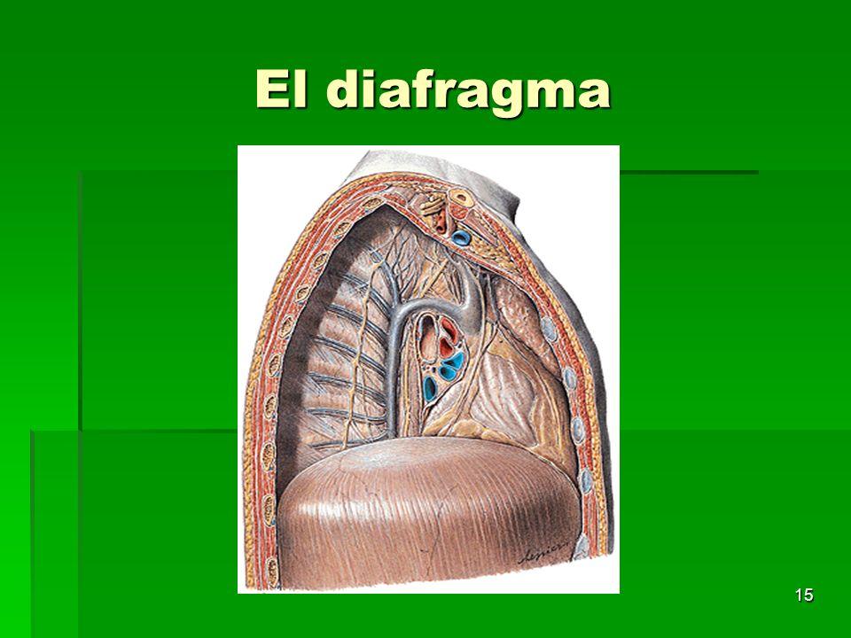 15 El diafragma