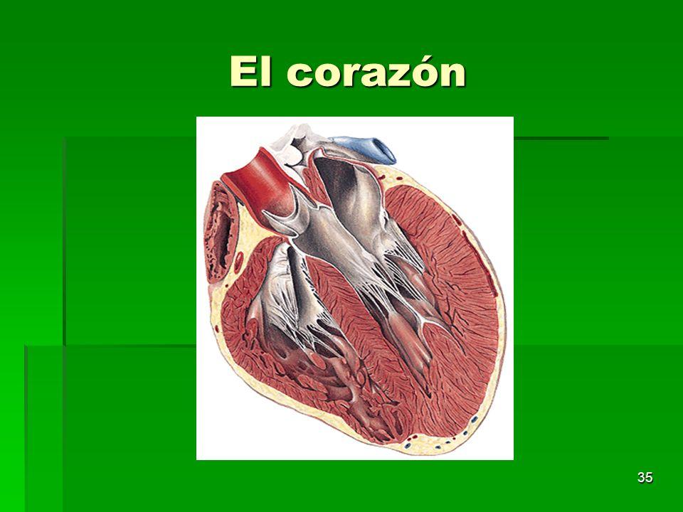 35 El corazón