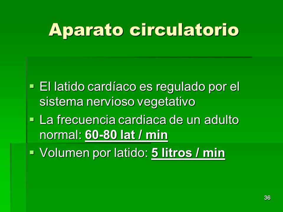 36 Aparato circulatorio El latido cardíaco es regulado por el sistema nervioso vegetativo El latido cardíaco es regulado por el sistema nervioso veget