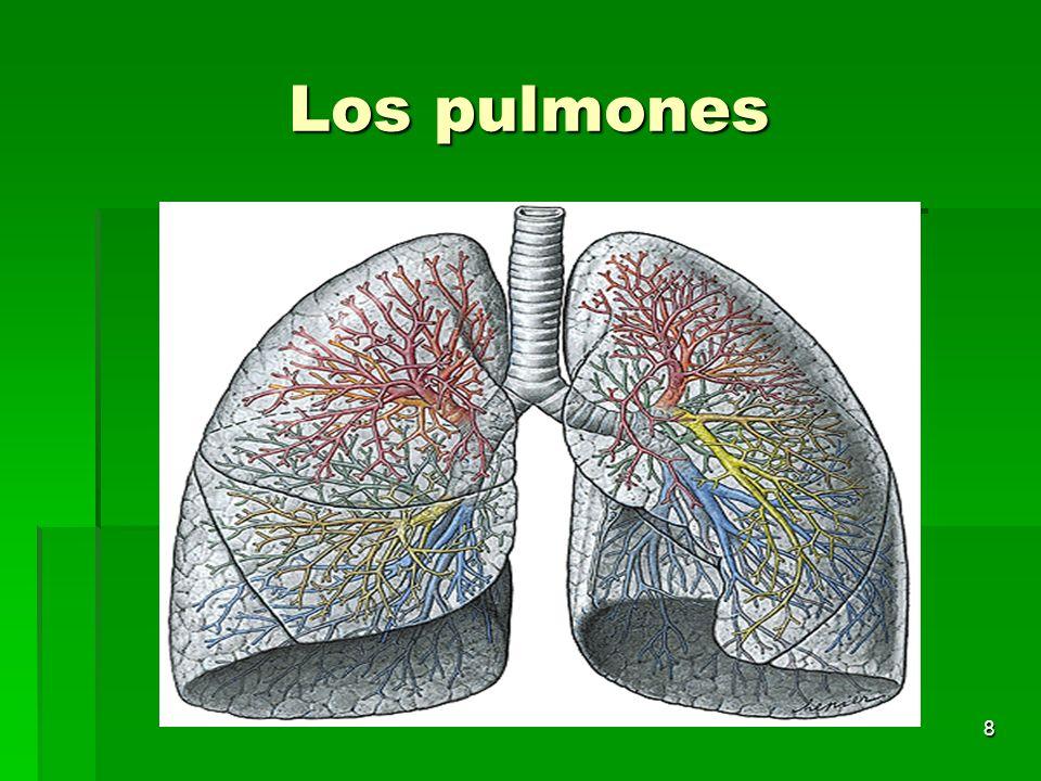 8 Los pulmones
