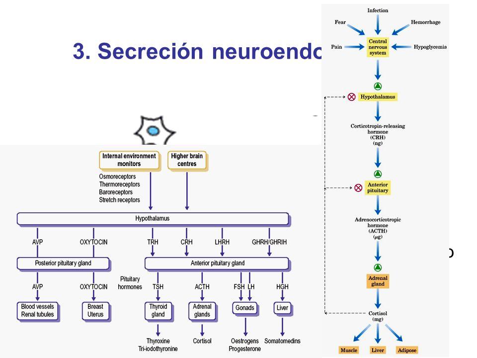 3. Secreción neuroendocrina Célula neurosecretora Célula blanco distante