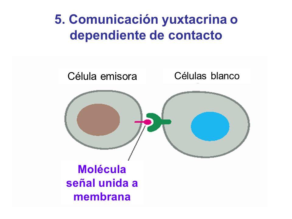 5. Comunicación yuxtacrina o dependiente de contacto Célula emisora Células blanco Molécula señal unida a membrana