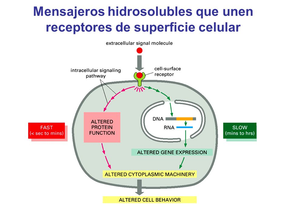 Mensajeros hidrosolubles que unen receptores de superficie celular