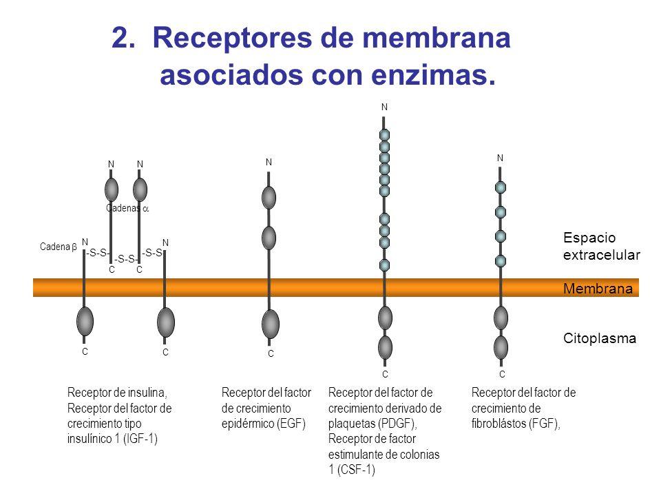 2. Receptores de membrana asociados con enzimas. Receptor del factor de crecimiento de fibroblástos (FGF), C -S-S- C N C N N C N C Receptor de insulin