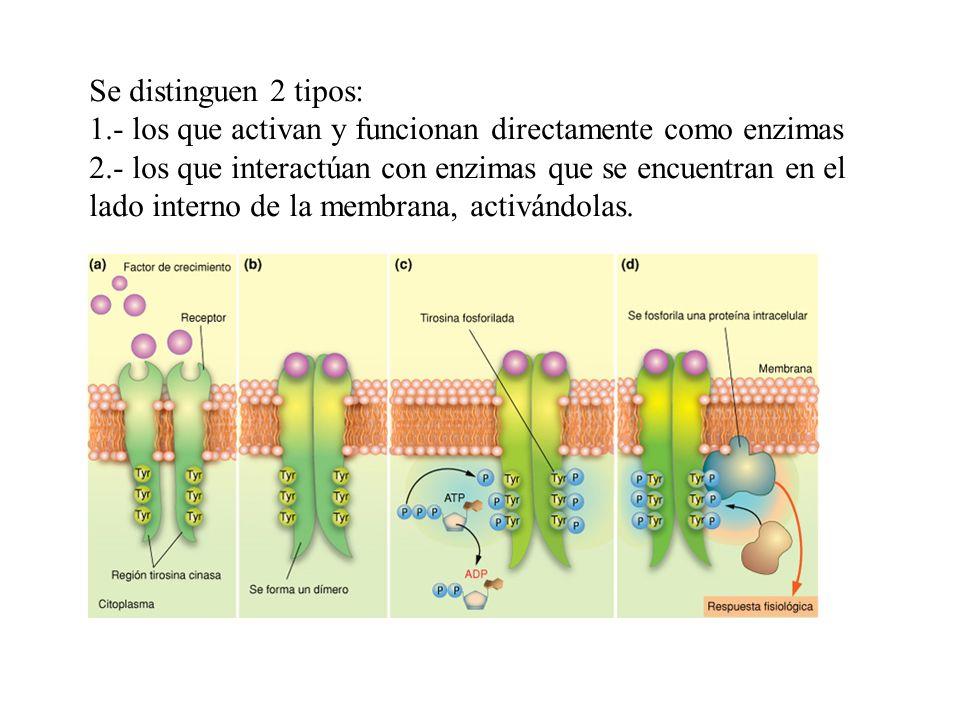 Se distinguen 2 tipos: 1.- los que activan y funcionan directamente como enzimas 2.- los que interactúan con enzimas que se encuentran en el lado inte