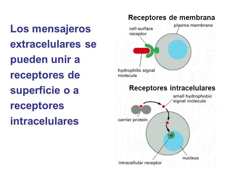 Los mensajeros extracelulares se pueden unir a receptores de superficie o a receptores intracelulares Receptores intracelulares Receptores de membrana