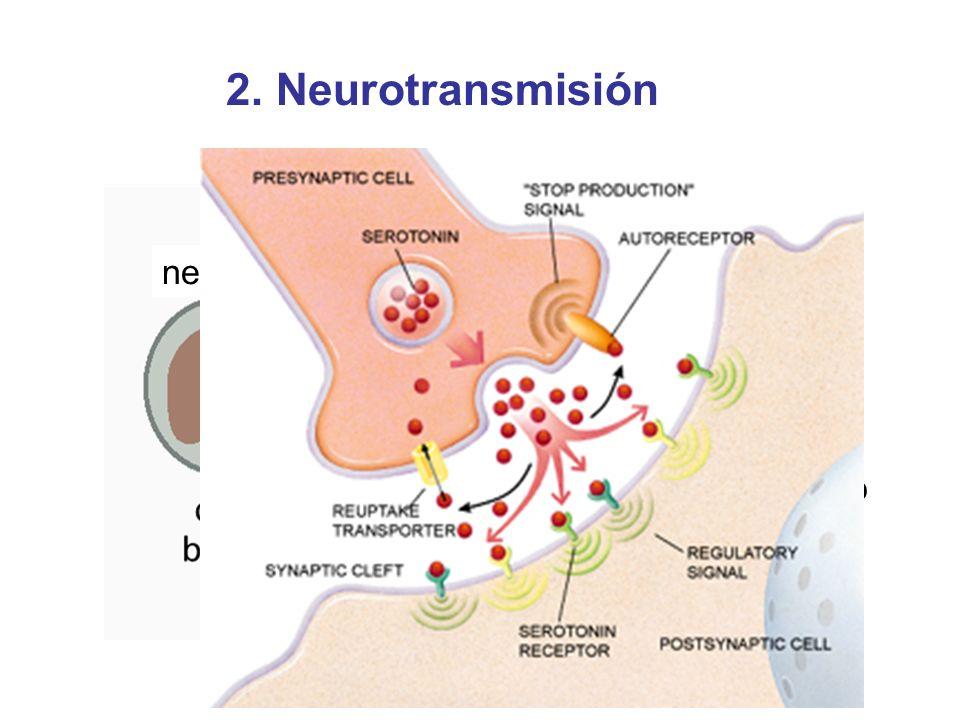 2. Neurotransmisión neurona sinapsis célula blanco neurotransmisor