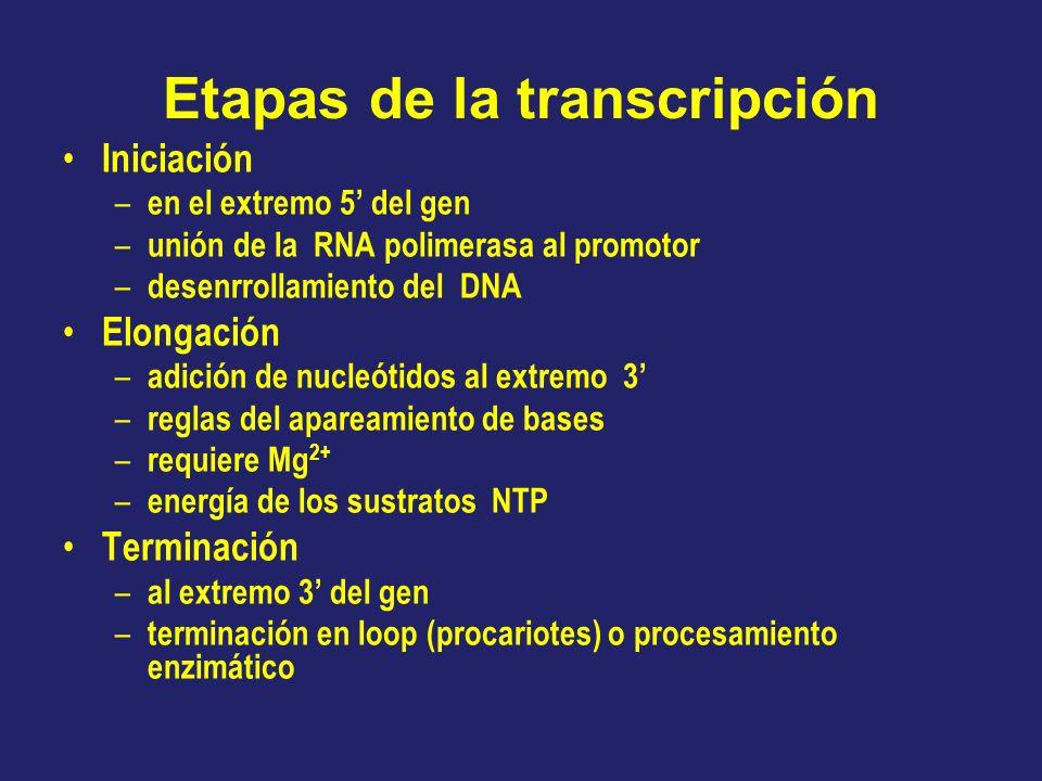Etapas de la transcripción Iniciación – en el extremo 5 del gen – unión de la RNA polimerasa al promotor – desenrrollamiento del DNA Elongación – adic
