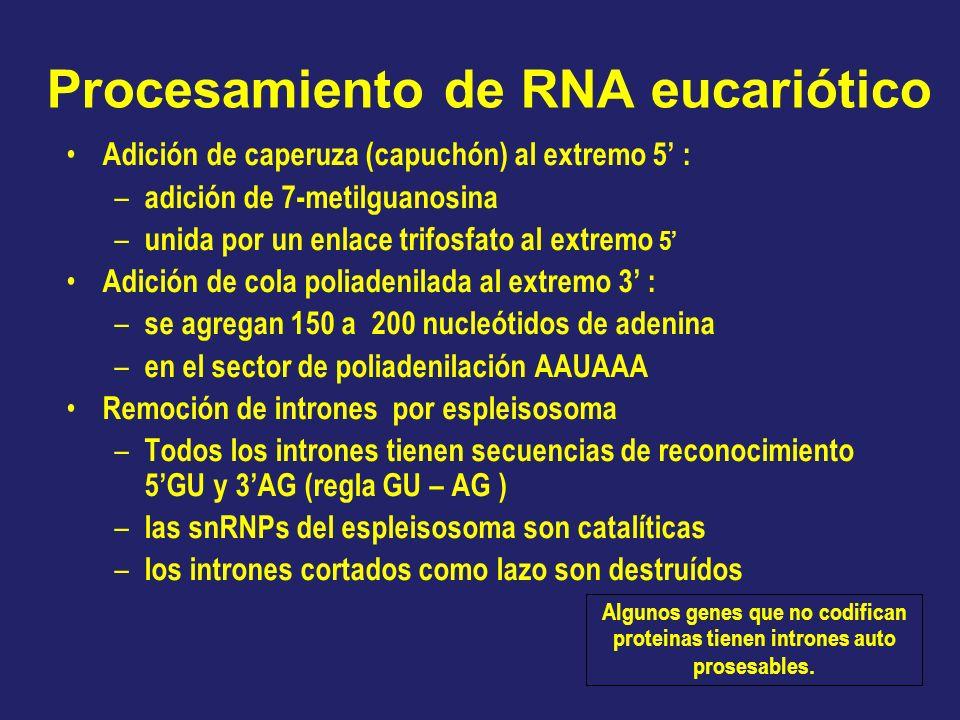 Procesamiento de RNA eucariótico Adición de caperuza (capuchón) al extremo 5 : – adición de 7-metilguanosina – unida por un enlace trifosfato al extre
