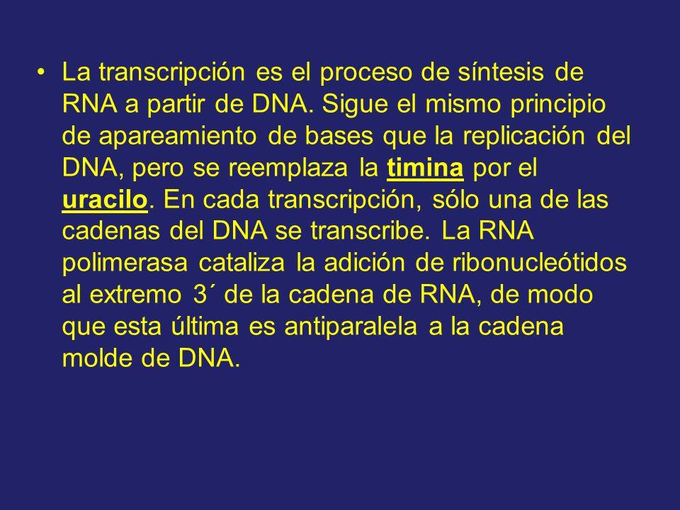 La transcripción es el proceso de síntesis de RNA a partir de DNA. Sigue el mismo principio de apareamiento de bases que la replicación del DNA, pero